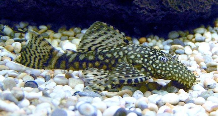 фото с названиями пресноводные аквариумные рыбки